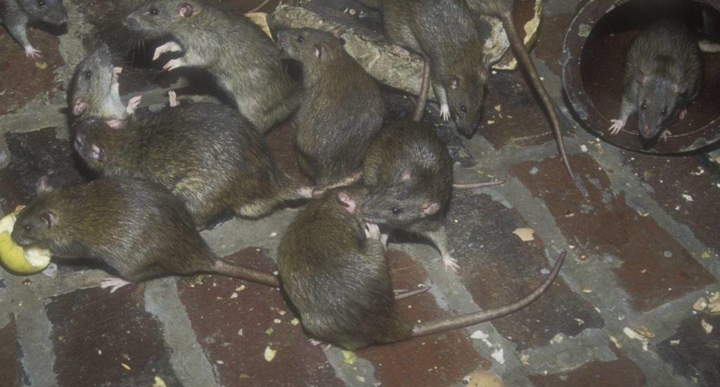 уничтожение крыс в Энгельсе