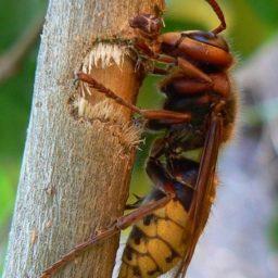 Уничтожение шершней в Энгельсе